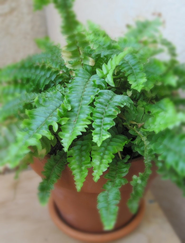 Fern plant - Bright Blue Living for Urban Jungle Bloggers